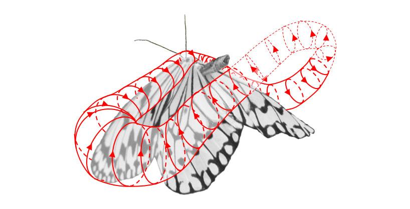 蝶の翅上の渦流れ